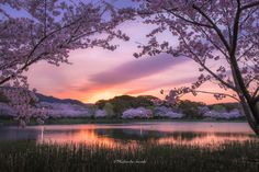 Sakura Sunrise - Japanese scenery of the morning of spring. You will be surprised to see the beautiful scenery. This place is a suburb of Aichi Prefecture. Spring of Japan will bloom cherry. Sakura will be seen everywhere in Japan.