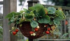 Strawberry hanging basket.