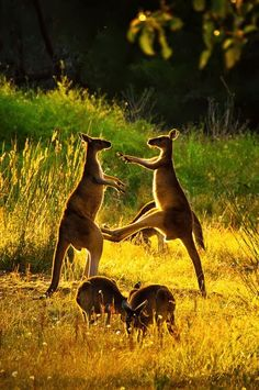Kangaroo Fun -- Australia DUDE! Not in the JUNK! I might wanna have kids one day!