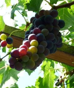 What You Need to Know to Successfully Grow Grapes at Home