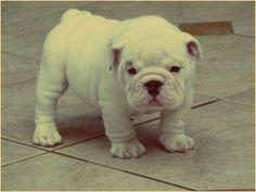 future puppy, miniature british bulldog <3