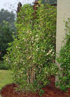 Golden Breath Of Heaven Coleonema Pulchellum 39 Gold Sunset 39 Greenies Pinterest Plants