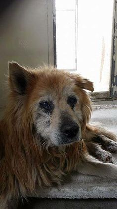BEYOND URGENT! PTS AT ANY TIME! Gardena, CA; Sad, Senior Perhaps Chow/GSD Mix. Has some sight impairment.SO SWEET & FRIENDLY. ON HOLD UNTIL THE 24th FOR OWNER RESPONSE, HOWEVER, IF THE OWNER RESPONDS THEY DO NOT WANT HIM, THEN HE CAN BE PTS AT ANYTIME! WE NEED A FIRM ADOPTION OR RESCUE OFFER IN PLACE NOW! PLEASE HELP & SHARE FOR HELP!  https://www.facebook.com/photo.php?fbid=403940186415732&set=a.398109210332163.1073741894.225835284226224&type=1&theater