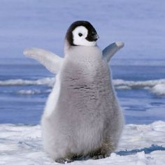 Heres a picture of a baby penguin. Baby Animals Pictures, Cute Animal Pictures, Animals And Pets, Funny Animals, Cute Baby Penguin, Cute Penguins, Emperor Penguin, Cute Little Animals, Cute Creatures