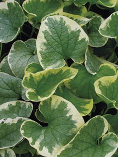 Guide to Growing Brunnera - FineGardening Shade Garden, Garden Plants, Spring Flowers, Blue Flowers, Wooded Landscaping, Fine Gardening, Long Winter, Seed Starting, Cool Plants