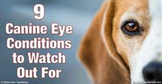 Many dog guardians don't give their pet's eyes much thought, but there are actually several very common canine eye disorders to be aware of. http://healthypets.mercola.com/sites/healthypets/archive/2016/06/15/common-eye-disorders-dogs.aspx