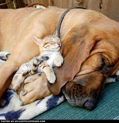 Just so gentle. Love bloodhounds!
