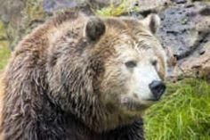State Symbols: California State Animal: California Grizzly Bear