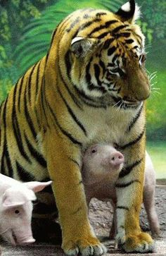 A forlorn tigress, heartbroken because her own cubs have died, is fooled into adopting a litter of piglets