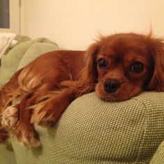 Cavalier King Charles spaniel Ruby, 7 months old