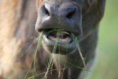 Organic Meat and Milk Higher in Healthful Fatty Acids