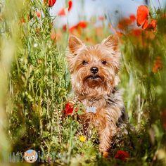 Wie schon in der Story heute Morgen versprochen gibt es jetzt das Mohn-Bild von Alfi!  Man braucht einfach nen größeren Hund um mehr Mohn drauf zu bekommen... oder mehr Zeit!  Und wie findet ihr es?  #Hund #Hundeliebe #yorkie #yorkshireterrier #terrier #yorkiegram #yorkiedeutschland #terrierliebe #hundefotos #hundetricks #jena #germanblogger #hundeblog #blogger_de #instablogger_de #yorkieliebe #yorkiemama #hundejunge #yorkiesgermany #hundefotografie #yorkietricks #trickhund #germandog…