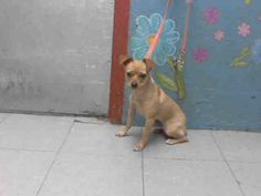 MIA - ID#A4746294 My name is Mia and I am described as a spayed female, tan Chihuahua - Smooth Coated mix The shelter thinks I am about 1 year old. I have been at the shelter since Aug 16, 2014. Back For more information about this animal, call: Los Angeles County Animal Control - Lancaster at (661) 940-4191 Ask for information about animal ID number A4746294