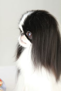 pekingese dogs japanese chin french bulldogs dog breeds paris