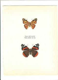 Vintage Butterfly Print Vanessa Cardui and by amykristineprints, $12.00
