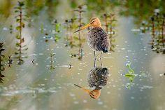 O Grut(to), o... Fotograaf: o0oRichard Een Grutto (Limosa limosa) met zijn weerspiegeling in een laagje water. Nederlandse naam: Grutto Wetensch. naam: Limosa limosa