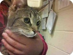 NALA...Pittsburgh, PA - Domestic Mediumhair. Meet NALA a Cat for Adoption.