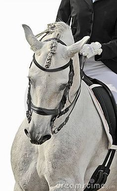 Photo about White andalusian horse isolated dressage. Horse Photos, Horse Pictures, Anglo Arabe, Star Stable Online, Andalusian Horse, Friesian Horse, Arabian Horses, Equestrian Chic, Dressage Horses