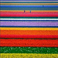 Netherlands in the middle of tulip season