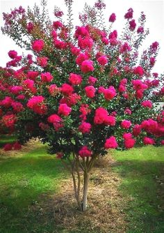 Crape Myrtle Tonto, for the top of the street. It is deciduous. Beautiful Gardens, Beautiful Flowers, Crepe Myrtle Trees, Crepe Myrtle Bush, Rose Trees, Flower Tree, Spring Tree, Small Trees, Small Ornamental Trees