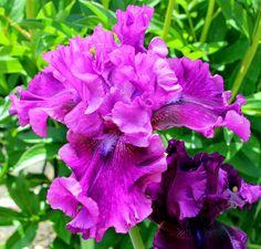 Purple Serenade TALL BEARDED IRISES--blooms from 2014