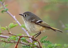 Ruby-crowned Kinglet (Regulus calendula) | 2015 all-time highs counted. http://audubonva.org/christmas-bird-count/