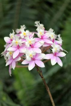wild epidendrum orchid - Google Search