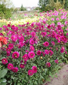 A flower lovers dream- Dahlias! Check out this blog about them.
