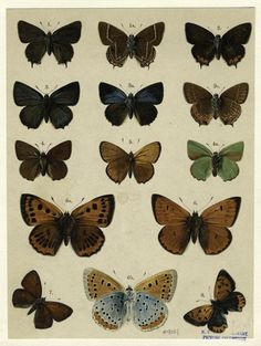 humanoidhistory: A lovely page from British and European Butterflies and Moths, 1895. (New York Public Library)