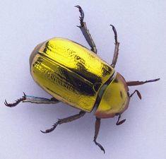 'Chrysina resplendens'  Escaravelho-de-ouro ('Chrysina resplendens') um dos mais incríveis besouros do mundo! Encontrado na Costa Rica , Panamá , El Salvador e outros países da América Central.  http://diariodebiologia.com/