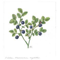 Vaccinium myrtillus - Illustration by Dagny Tande LId