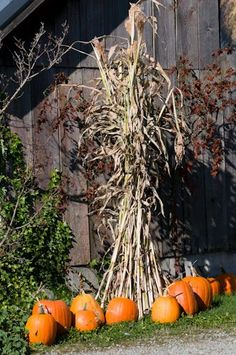Howden pumpkins (Cucurbita pepo) and corn stalks decorate the side of a large barn at a pumpkin farm. Harvest Time, Fall Harvest, Fall Pumpkins, Halloween Pumpkins, Primitive Fall, Thanksgiving, Happy Fall Y'all, Garden Photos, Back To Nature