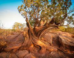 Old Juniper Tree