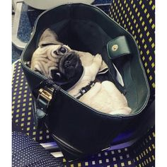 Pug in a purse Pug Love, I Love Dogs, Cute Dogs, Funny Dogs, Puppies And Kitties, Pug Puppies, Doggies, Gif Pug, Baby Animals