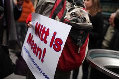 """'Mitt is Mean!'  A pug name Sake sits inside his owner's backpack on Feb. 14 during a """"Dogs Against Romney"""" protest outside the Westminster Kennel Club dog show in New York City.     The group is incensed that GOP presidential candidate Mitt Romney once confessed to placing his dog in a crate on top of the family car while driving to a vacation home."""