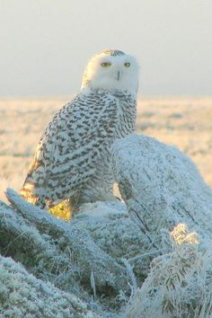 Snowy Owl (did not take this photo)  Charlotte Jan 2014