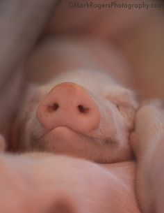 Be at peace, little piggie, I'll never take you to the market. I love you, you sweet pink little sweetheart!