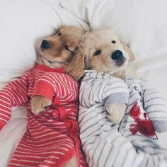 Dogs golden retriever puppies snuggles ideas for 2019 Dogs Golden Retriever, Retriever Puppy, Golden Retrievers, Labrador Retrievers, Labrador Puppies, Collie Puppies, Dogs Pitbull, Cute Dogs And Puppies, I Love Dogs