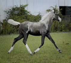 Leopard Complex, Overo? It's Grey, so it will end up as a white grey horse.