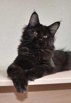 Maine coon cat. What a beautiful cat. http://www.mainecoonguide.com/maine-coon-personality-traits/