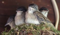 Things with Wings: Crowded Eastern Phoebe Nest They hatched then left 4/30/15-5/12/15