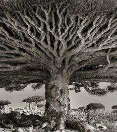 Le Dragonnier de Socotra, un arbre endémique de l'île de Socotra, située en mer d'Arabie, au Yémen