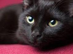 Resultado de imagem para gatos pretos