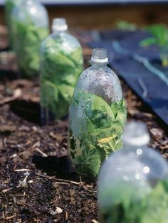 use milk, soda and juice bottles to make cloches for early spring gardening. Put cap on at night, take off when warm. Plastic Bottles, Reuse, Pet Plastic Bottles, Plastic Squeeze Bottles