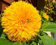 Beautiful Sunflowers! Goldy Double Sunflowers