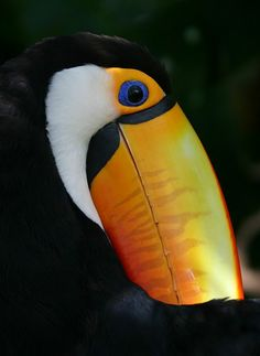 Hiding his Beak, Tucan Toco