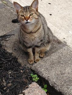 Found Cat - Domestic Short Hair - London, ON, Canada N5V 2X4 on June 12, 2015 (13:00 PM)