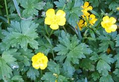 Common Meadow Buttercup Ranaculus acris Gaelic name: Buidheag an t-Samhraidh Garden Art, Yellow Flowers, Flower Garden, Wild Flowers, Country Gardening, Meadow, Fairy Garden, Trees To Plant, Flowers
