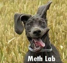 funny lab pictures | ... variants of Labrador retrievers; the fourth shows a crazed dog