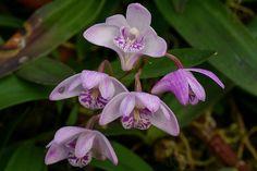 Dendrobium kingianum | Thomas Ditlevsen | Flickr